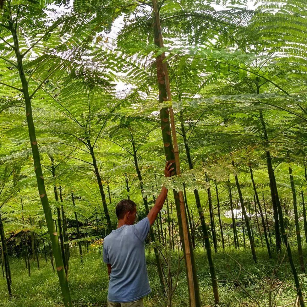 Jual Pohon Solobium