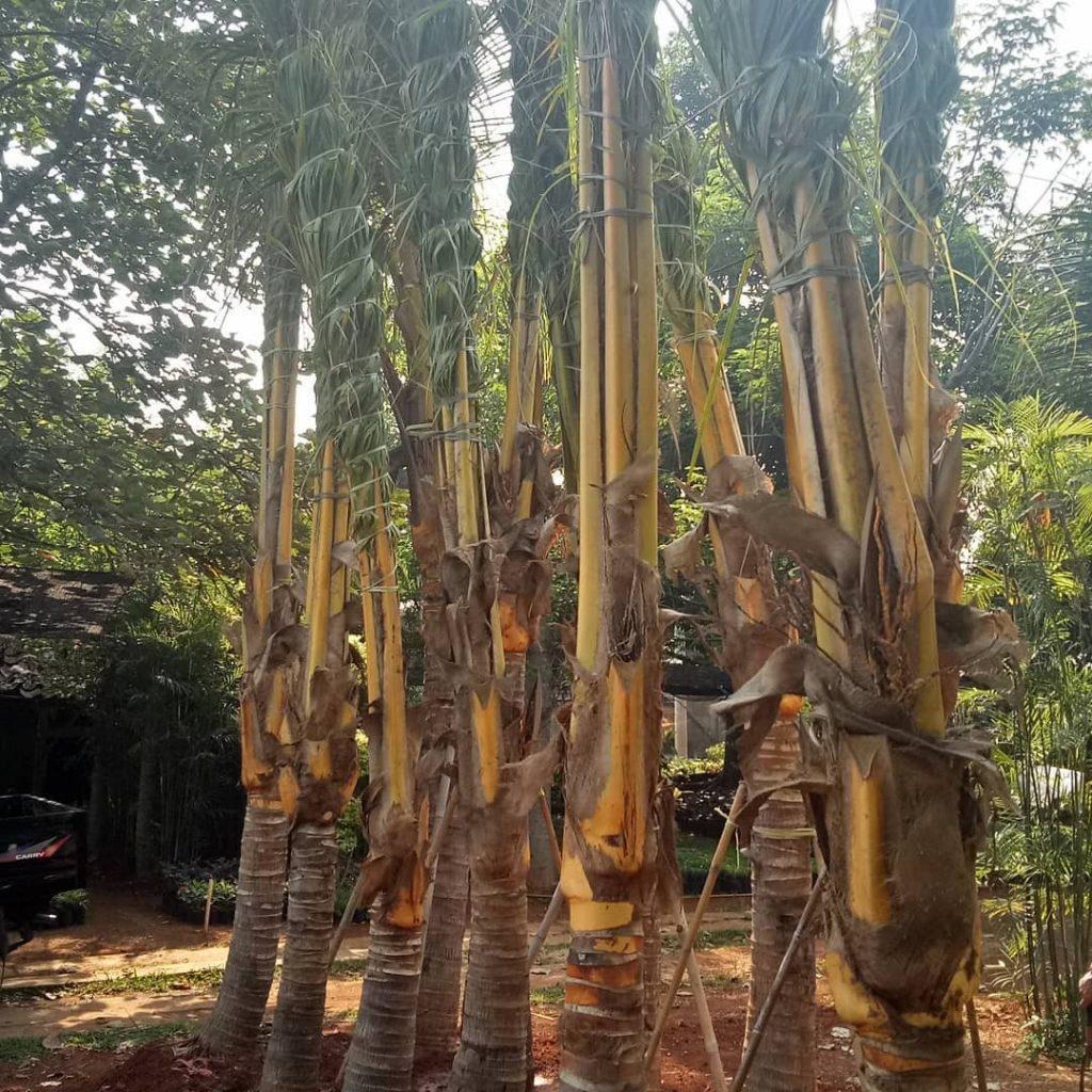 Harga Pohon Kelapa Gading